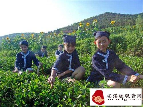 种植面积12860亩! 即墨茶崛起拼入青岛茶版图