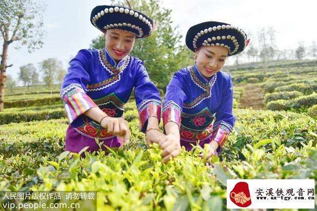 3月18日,大理彝乡南涧罗伯克茶场举行春茶开采仪式,身着盛装的彝族群众在采摘新茶。