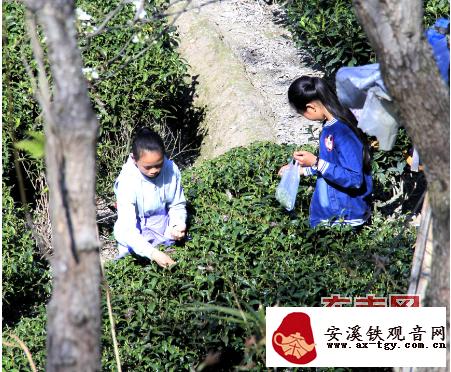 寿宁春茶开采 价格比去年略有提高