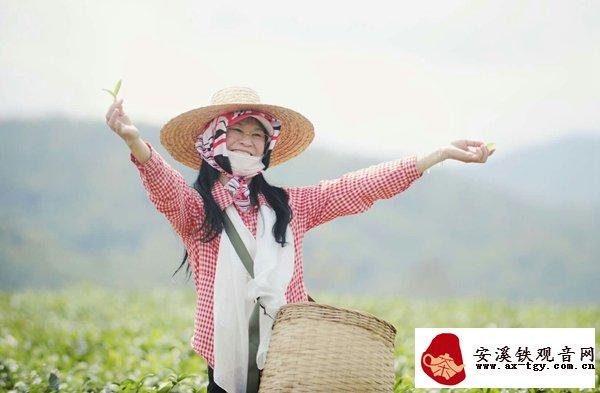 海南白沙方香村:春茶上市农旅融合茶香飘