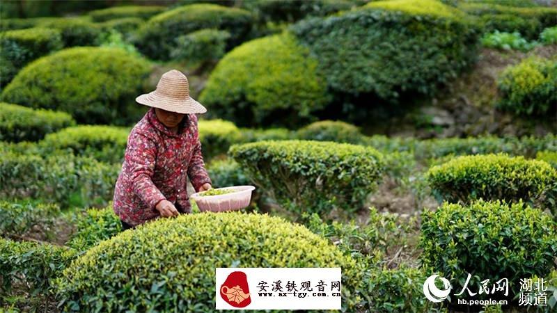 湖北鹤峰春茶开采 贫困户靠有机茶产业致富